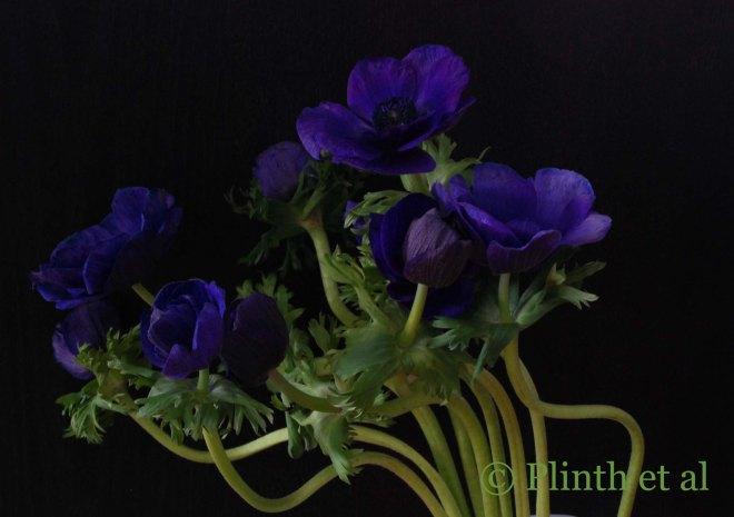 Purple_Anemones