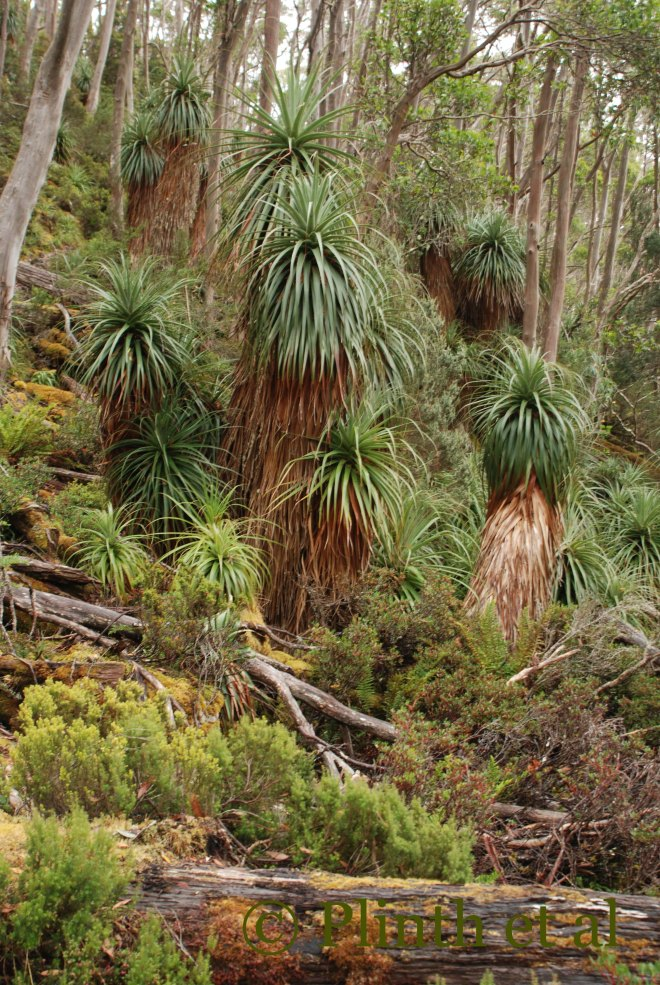 Richea pandanifolia of varying maturity create a Dr. Seussian scene in the Eucalyptus forest.