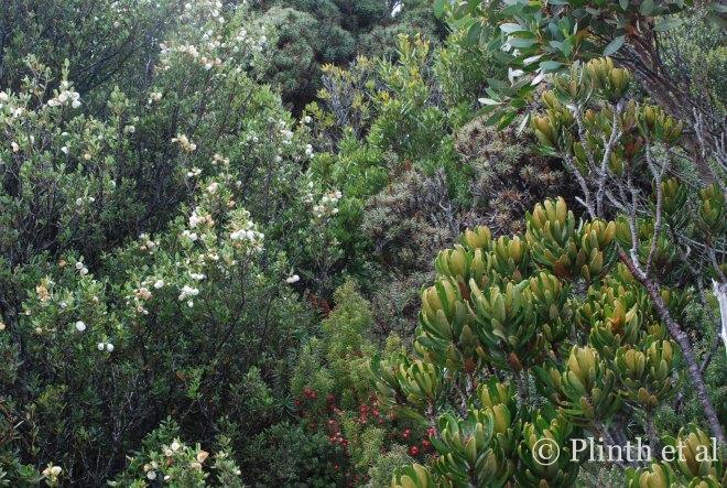 Left to right: Eucryphia milliganii (dwarf leatherwood), the red-fruited Leptecophylla juniperina (cheeseberry), the silver prickly Richea scoparia (honey richea), Telopea truncata (Tasmanian waratah), and Eucalyptus coccifera (upper right behind Telopea)
