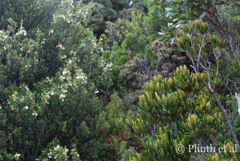 Left to right: Eucryphia milliganii (dwarf leatherwood), the red-fruited Leptecophylla juniperina (cheeseberry), the silver prickly Richea scoparia (honey richea), Telopea truncata (Tasmanian waratah), and Eucalyptus coccifera (upper right behind Telopea)