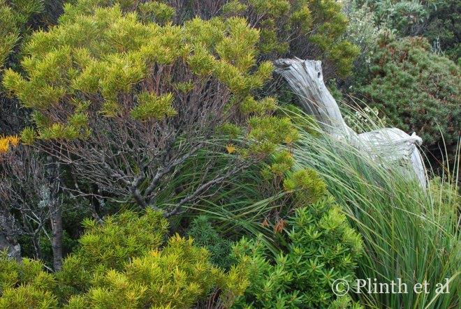 Orites acicularis (yellow bush) on the left, Gahnia grandis (saw sedge grass) on the right, and Cenarrhenes nitida (Port Arthur plum) in central by Lake Osborne