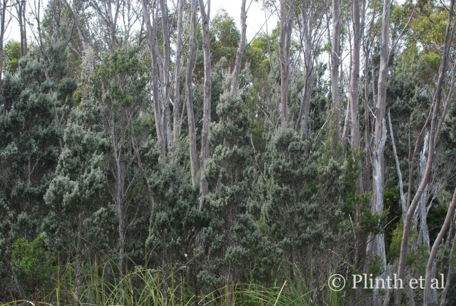 Leptospermum lanigerum (woolly tea-tree) underneath Eucalyptus coccifera (Tasmanian snow gum)