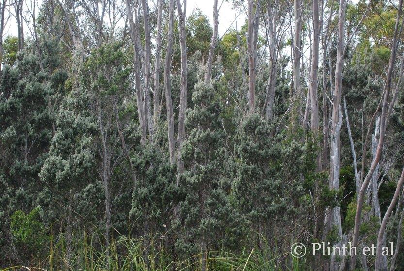 Leptospermum lanigerum (woolly tea-tree) underneath Eucalyptus coccifera (Tasmanian snow gum)