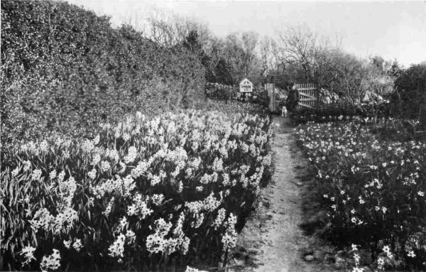 A daffodil farm and garden at Isles of Scilly Photo Credit: The Cornwall Coast by Arthur L. Salmon (1910)