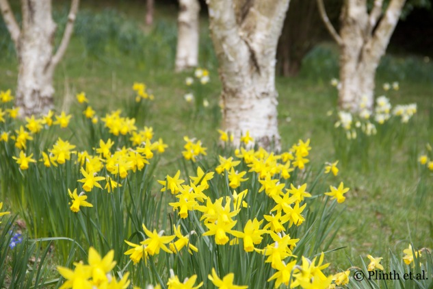 Naturalized Narcissus in the garden of William Robinson at Gravetye Manor