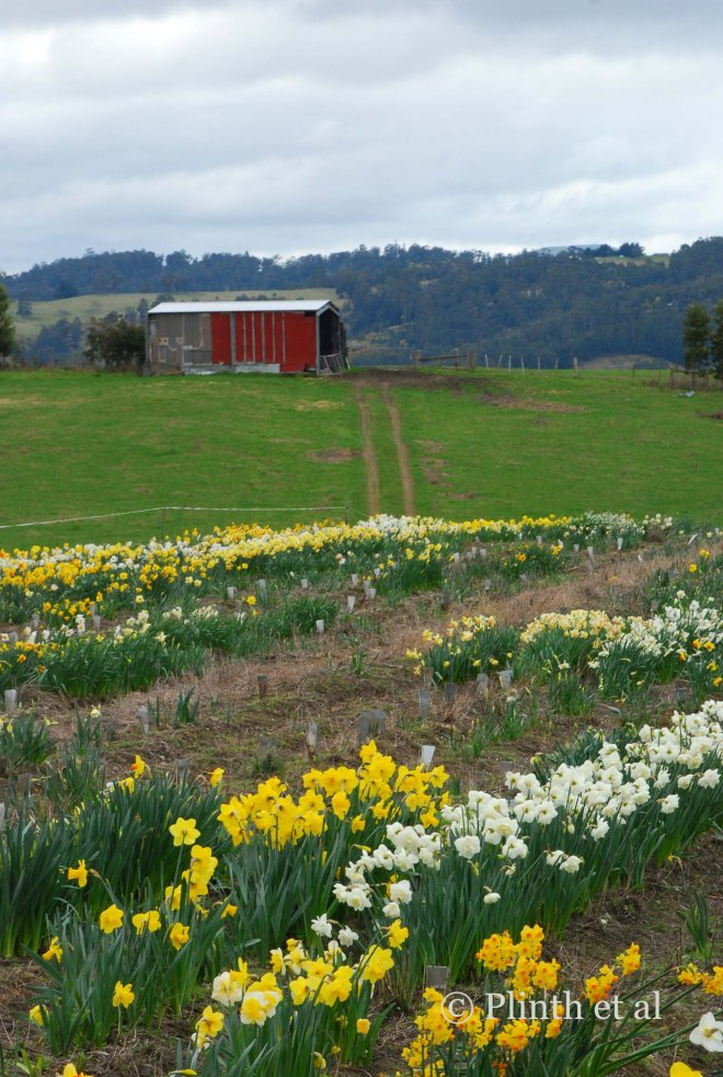 Daffodil fields at Jackson Daffodils, Surges Bay, Tasmania, Australia