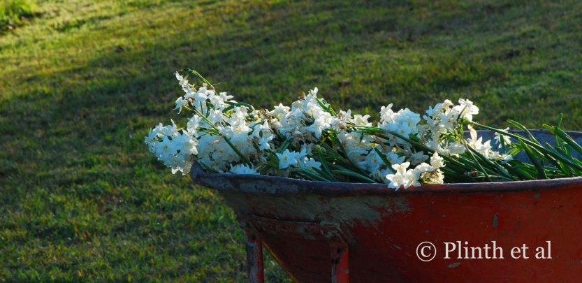 Tazettas have been 'rescued', collected in a wheelbarrow, and wait to be transplanted.