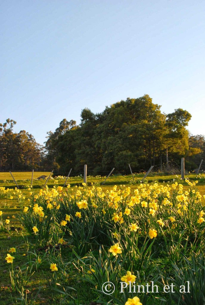 Glowing under the clear Tasmanian skies, daffodils, remnants of a bulb farm, still return despite the ground being plowed.