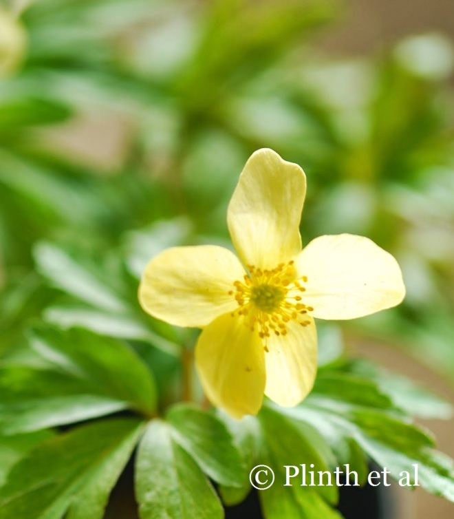 Anemone x lipsiensis, a hybrid of Anemone nemorosa and A. ranunculoides