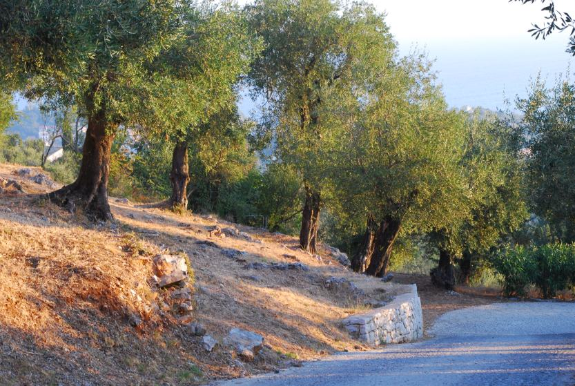 Plant to be reincarnated: Olive Tree