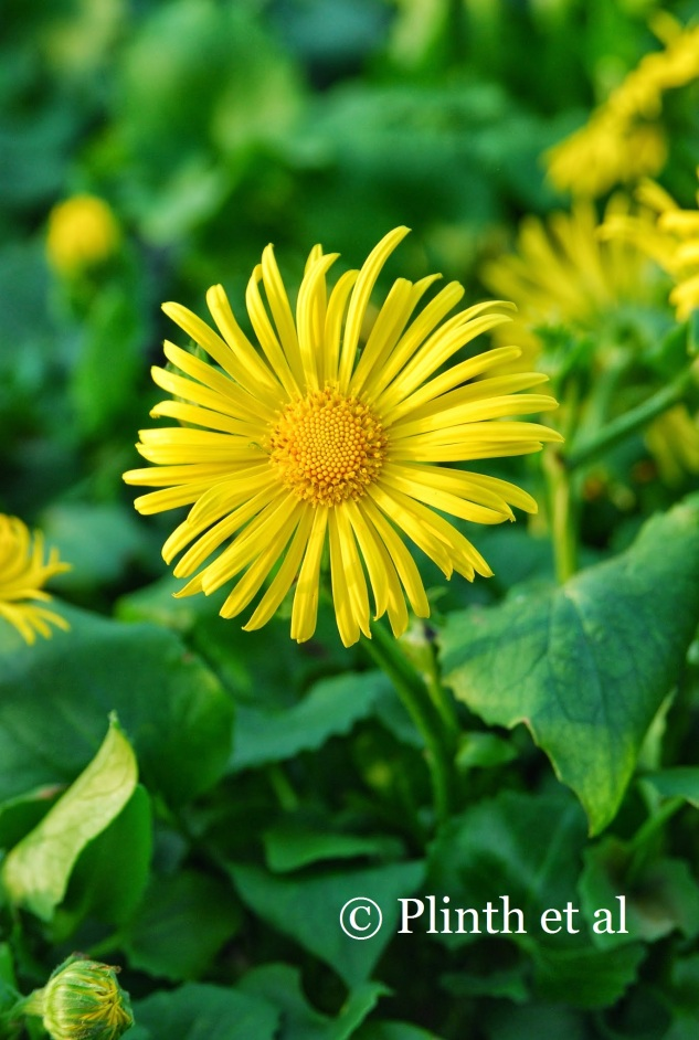 Doronicum orientale 'Magnificum' portends the composites yet to come in midsummer and autumn.