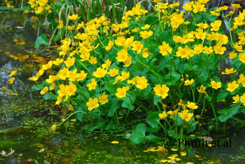 Caltha palustris, the marsh marigold, emerges unsullied from the stream banks and disappearing again with the heat of summer.