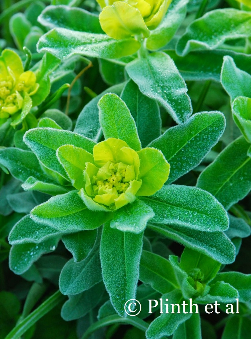 Euphorbia polychroma is one of the earliest spurges to emerge, making it a zingy partner for spring bulbs.