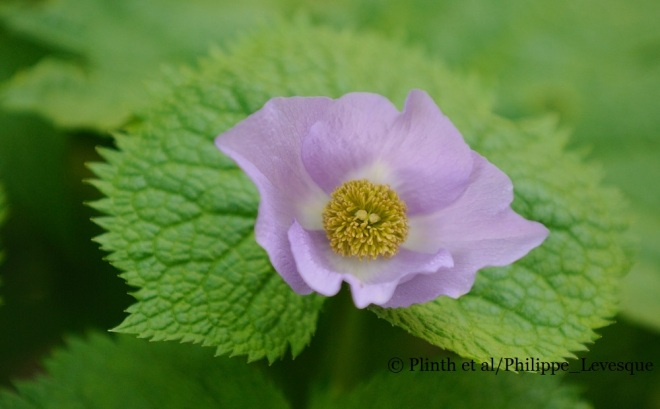 Glaucidium palmatum close up