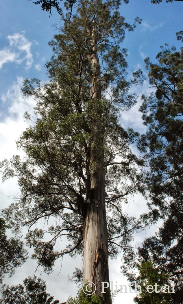 The height of the mountain ash is nearly incomprehensible, clearly cementing the species as the tallest angiosperm (flowering ) tree in the world.