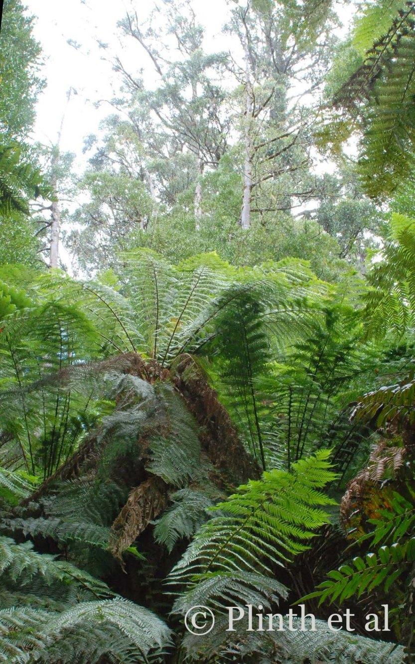 Dicksonia antarctica (tree ferns) flourish at the base of the trees.