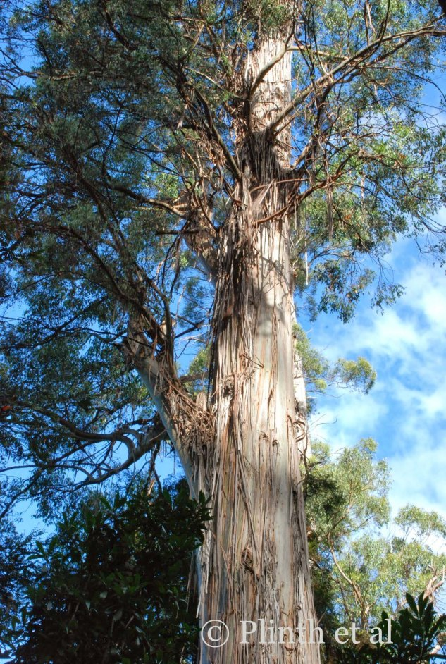 Eucalyptus possess some of the world's most beautiful bark, and E. regnans is no exception.