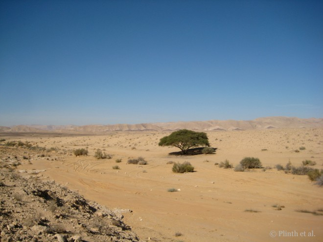 a single Acacia tortilis in the Negev Desert, Israel