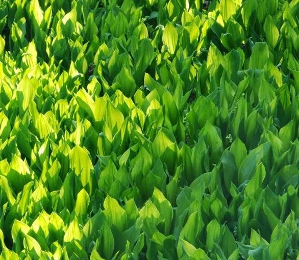 Plantsman's Corner: Convallariamajalis