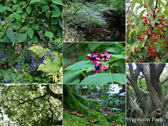 The flora of Jeju Island - Starting top left clockwise: Hydrangea serrata f. acuminata; Symplocos chinensis f. pilosa; Malus sieboldii; Euonymous hamiltonianus; Lycopodium integrifolium; Maackia floribunda; Aconitum napiforme; Clerodendrum trichotomum.