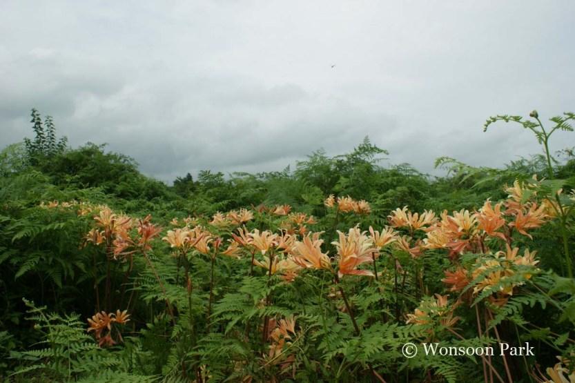 The pale orange flowers of Lycoris chejuense glow against the bracken fern at Jeju Island.