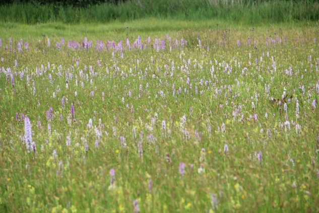 Orchid Meadow