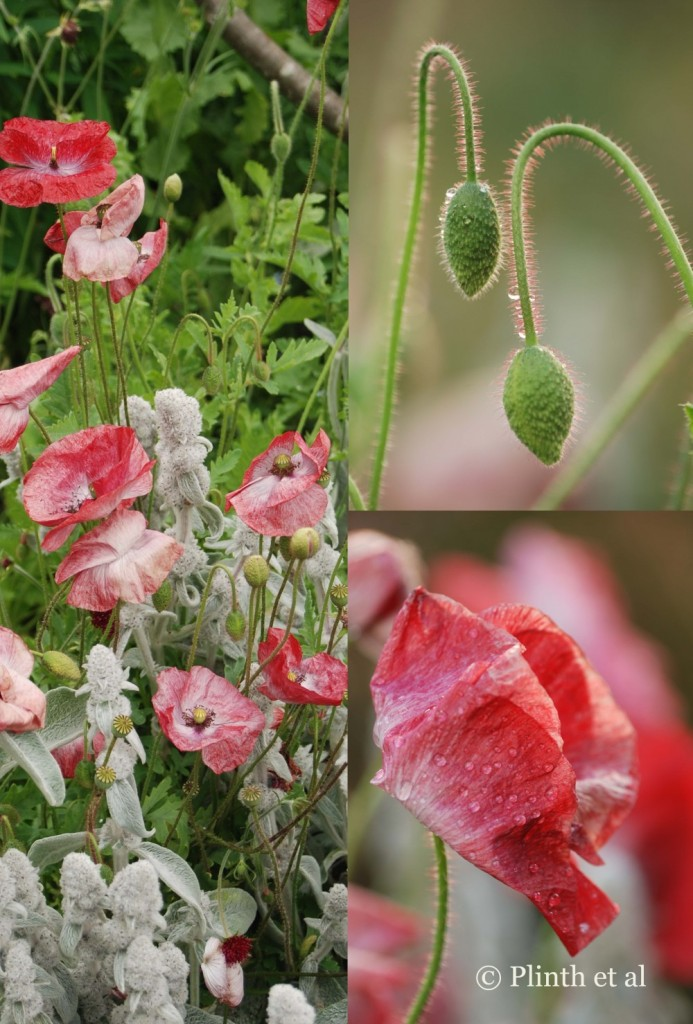 Paler strains of Flander poppy, sometimes called Shirley poppies, are selected for their colors and can revert back easily if not kept pure.