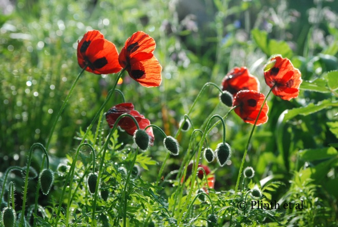 The individual black splotch on the red petal of the ladybird poppy (Papaver commutatum) adds a bold tension with the bright red.