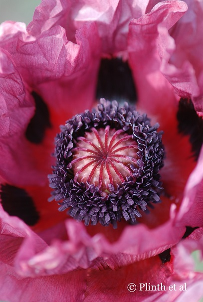 The Oriental poppy is a portrait of sumptuous opulence, a voluptuous self of its wild cousins.