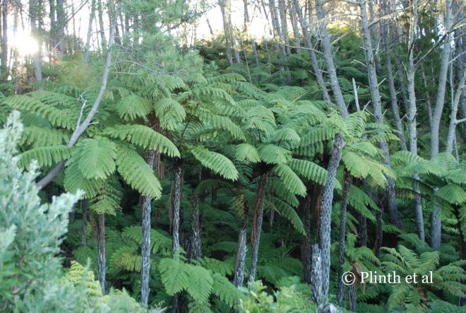 Black tree ferns (Cyathea medullaris)  grow in such profusion that the effort to cosset one or a few in conservatory just seems foolhardy after seeing them in the wild.