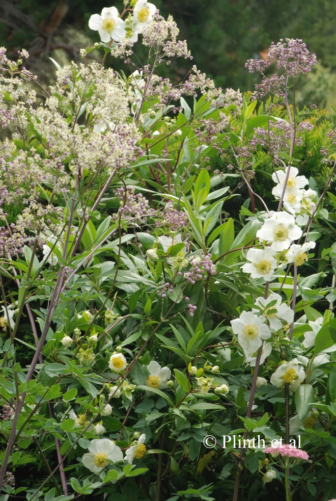 Thalictrum 'Elin' with Carpentaria californica (private garden of Sally Johannsohn, Tasmania, Australia)