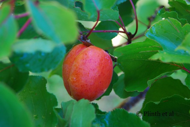 Lone_apricot