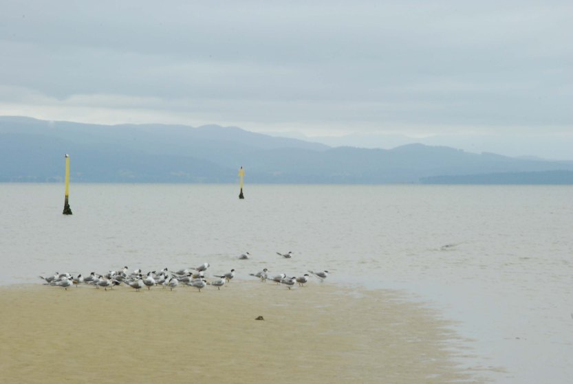 There is something placid about watching a flock of birds, Arctic terns here, roost on this skinny sandbar in the relatively calm Isthmus Bay. We went clamming for cockles, which become our meal for seafood linguine.