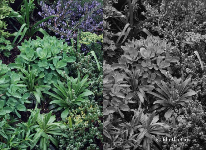 Sometimes people become fixated with flowers and colors that they neglect long-term seasonal interest - a visual comparison of the same planting (Alchemilla arygophylla, Digitalis ferruginea, Rosmarinus officinalis 'Prostratus', and Sedum 'Autumn Joy') , one in color and other in black and white, can go a long way in helping clients see e what we perceive.