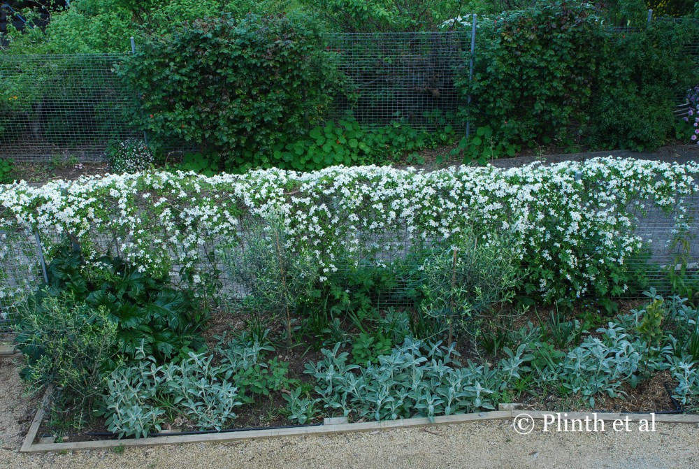 how to grow clematis along a fence