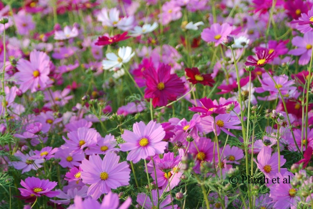 A field of Cosmos bipinnatus in full flower
