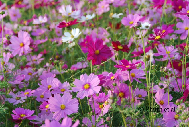 A field of Cosmos bipinnatus in full flower