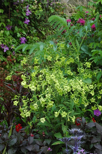 Nicotiana 'Limelight' is an unusual shade of green seen in annuals - delicious with blue salvias or red dahlias.