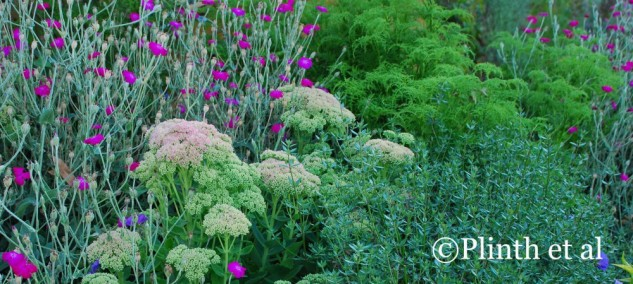 Color is subservient to form and texture - though  self-sowing Lychnis coronaria is a shot of vivid magenta, the planting's forte is its contrasting interplay of form and textures as the budding cymes of Sedum 'Autumn Joy' among the lacy Pelargonium denticulatum and silvery fine-leafed Westringia fruticosa.