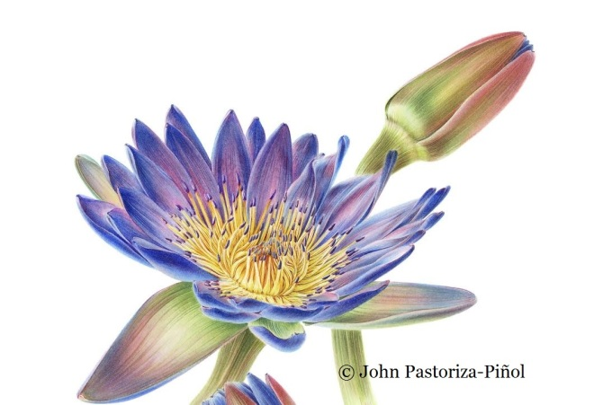 A close-up study of a Nymphaea flower and its bud.