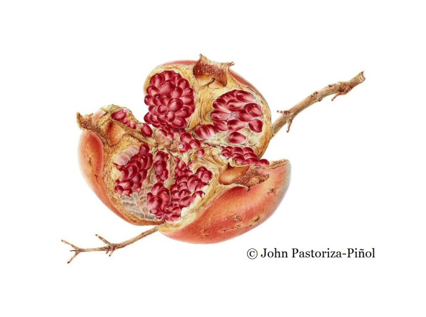 John likes to use pomegranates in his botanical illustration lessons for these fruit have such mystical and cultural qualities.