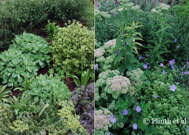 "We always aimed for structural and textural strength in our gardens - Pittosporum tenuifolium 'Golf Ball' and Westringia fruticosa are both evergreen shrubs giving backbone for the herbaceous components, Digitalis ferruginea, Euphorbia myrinsites, Lilium ""Casa Blanca', Geranium Rozanne 'Gerwat', and Sedum 'Autumn Joy'. The right picture was taken two months later, showing how the planting is still strong and will continue to do so."