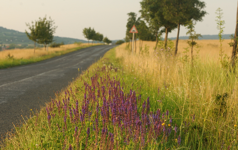 Plantsman Corner: Salvias ofSlovakia