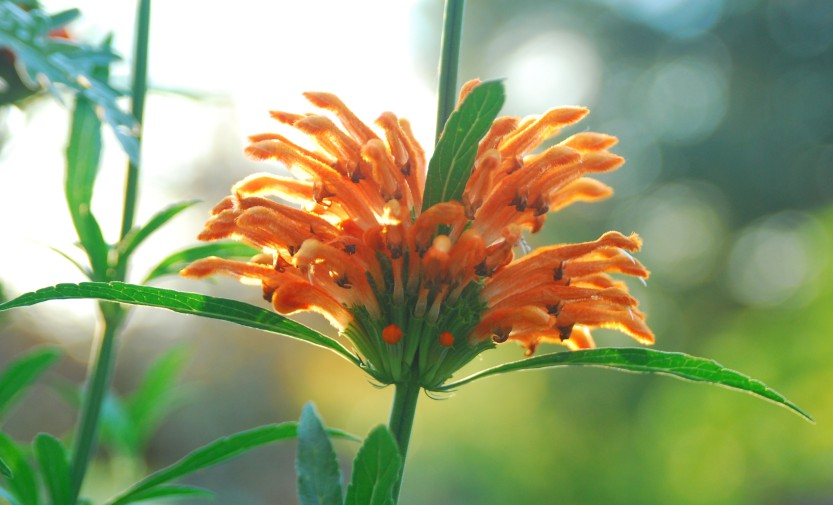 The orange whorls of Leonotis leonurus are often the last to flower, and if frosts haven't threatened, the flowers look appropriately festive during Halloween.