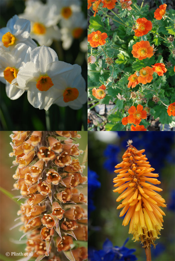 Left to right clockwise: Narcissus 'Geranium'; Geum, Kniphofia; Digitalis ferruginea