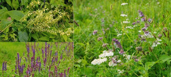 Three of the most commonly seen salvias in Slovakia are Salvia glutinosa (upper left). S. nemorosa (bottom left), and S. verticillata (right). All species are forebears of our garden plants that are now popular in naturalistic gardens.