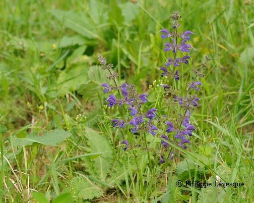 Salvia pratensis withstands the competition with the grass well.