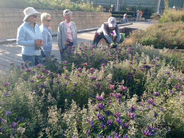 Visitors admire the beautiful planting of Gentiana andrewsii (bottle gentian)  in Calamintha nepeta ssp. nepeta (calamint) as Laura photographs the flower.