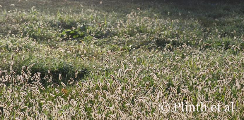 Dewygrasses