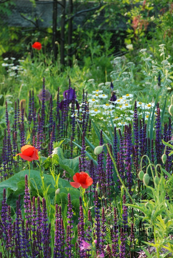Salvia nemorosa 'Caradonna' still remains one of the best selections as seen here in late May at Chanticleer.